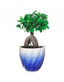Bonsai plant online