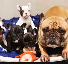 French Bulldog Puppies For Sale Cheap | Merle Female Mini French Bulldog Puppies For Sale Under 1000