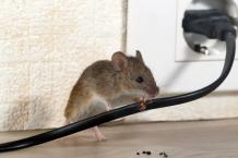 Mice Control Notting Hill
