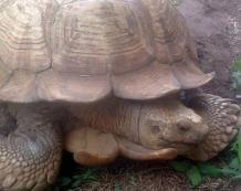 The oldest Tortoise in Africa, Alagba living in Ogbomoso's palace dies aged 344