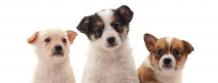 Puppy School Instructor Course