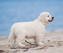 English cream golden retriever puppies - Goldwynns