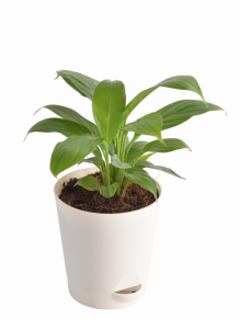Buy Flowering Plants - Online Flower Plants Shopping in India
