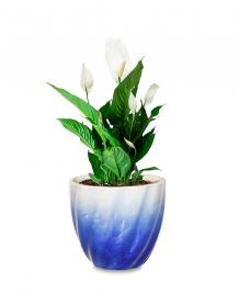 Peace Lily in Mix Blue Twisted Grace Pot