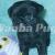Waabapugs puppies breeder   Waaba-Pugs puppy breeder