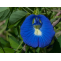 Aparajita (Clitoria Ternatea) - Properties, Benefits, Uses & Dosage
