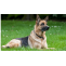 German Shepherd Dog Breed's Some Ultimate Facts