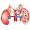 Kidney Treatment in Ayurveda| Ayurvedic Medicine | Treatment Center